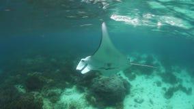 Manta Ray Swimming in Raja Ampat stock footage