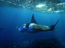 Manta Ray swims in Hanamau Bay Stock Photos