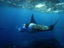Manta Ray swims in Hanamau Bay. Large Manta Ray swims among small fish in Hanamau Bay Stock Photos