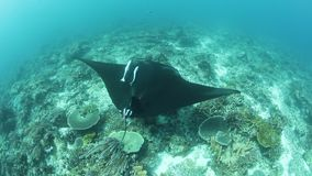 A Manta Ray Swims Over Cleaning Station in Raja Ampat. In Raja Ampat, Indonesia, a manta ray, Manta alfredi, cruises over a shallow, underwater ridge where they stock video footage