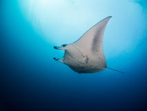 Manta ray. Under the sun Royalty Free Stock Photography