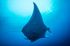 Manta ray under water stock image
