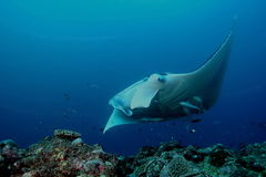 Manta Ray underwater diving photo Maldives Indian Ocean Stock Images