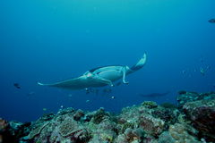 Manta Ray underwater diving photo Maldives Indian Ocean Royalty Free Stock Photography