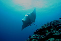 Manta Ray underwater diving photo Maldives Indian Ocean Royalty Free Stock Images