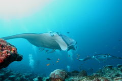 Manta Ray underwater diving photo Maldives Indian Ocean Stock Photos