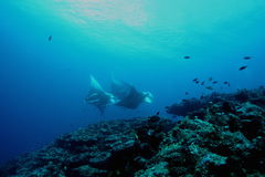 Manta Ray underwater diving photo Maldives Indian Ocean Stock Photo