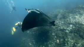 Manta Ray in underwater among reefs and divers. stock video