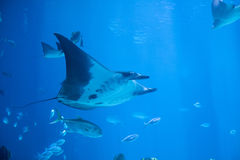 Manta ray underwater. Underwater shot of manta ray, also known as the devil fish stock photo