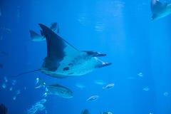 Manta ray underwater Stock Photo