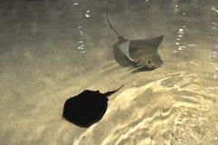 Manta Rays. Two manta rays swimming in a tank of the Boston aquarium Royalty Free Stock Image