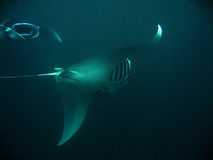 Manta Rays Royalty Free Stock Photos
