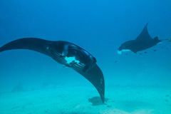 Manta Rays in Aqua Blue Stock Photos