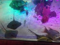 Manta Rays in Aquarium. Manta rays swimming in their aquarium at Sea Life Aquarium Auburn Hills, Michigan royalty free stock photos