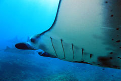 Manta Rays Stock Images
