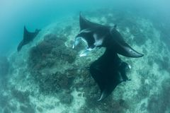 Manta Rays at Cleaning Station stock photo