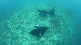 Manta Rays Cruise Over Cleaning Station in Raja Ampat. In Raja Ampat, Indonesia, manta rays, Manta alfredi, cruise over a shallow, underwater ridge where they stock video footage