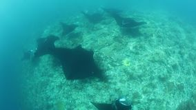 Manta Rays Cruise Over a Cleaning Station in Raja Ampat. In Raja Ampat, Indonesia, manta rays, Manta alfredi, cruise over a shallow, underwater ridge where they stock video