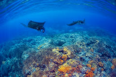 Manta Rays. Filter feeding above a coral reef in the blue Komodo waters royalty free stock photos