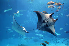 Manta rays flying into a swarm of other fish stock photos