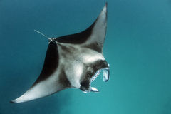 Manta rays at Hanifary Bay Maldives Royalty Free Stock Photography