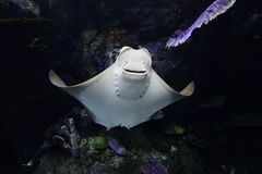 Manta ray swimming. Manta rays like warm temperate water and migrate across open oceans stock image