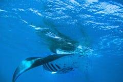 Manta Rays. A pair of adult Mantarays swimming in Fiji Stock Photography