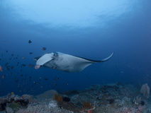 Manta rays. At raja ampat indonesia Stock Images