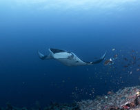 Manta rays. At raja ampat indonesia Royalty Free Stock Photos
