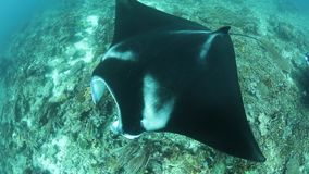 Manta Rays Swim Over Cleaning Station in Raja Ampat. In Raja Ampat, Indonesia, manta rays, Manta alfredi, cruise over a shallow, underwater ridge where they are stock video footage