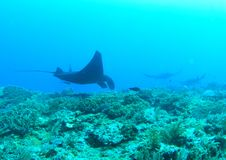 Manta rays swimming above coral reef stock images