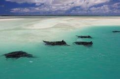 Manta Rays. Swimming along the flat, Christmas (Kiritimati) Island, Kiribati royalty free stock photos