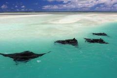 Manta Rays. Swimming along the flat, Christmas & x28;Kiritimati& x29; Island, Kiribati stock image