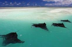Manta Rays. Swimming along the flat, Christmas (Kiritimati) Island, Kiribati stock images