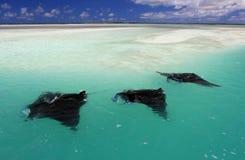 Manta Rays. Swimming along the flat, Christmas (Kiritimati) Island, Kiribati stock photography