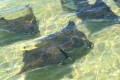 Manta rays swimming in the Atlantic. Black manta rays swimming in the ocean water Stock Photography