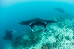 Manta Rays Swimming Over Cleaning Station stock photos