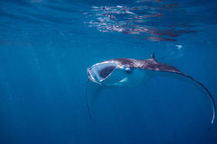 Manta Sea. A manta ray hoovers up the plankton in the Maldives Stock Photo