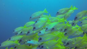 Manta Shark and fishes underwater stock footage