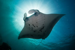 Manta Silhouette royalty free stock image