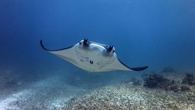 Manta Smile royalty free stock images