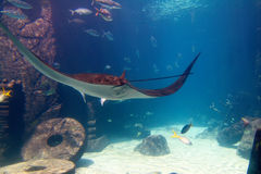 Manta-Strahl in Bahamas stockfotos