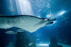 Manta-Strahl im Aquarium Stockfoto