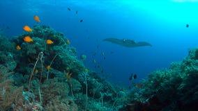 Manta su una barriera corallina Fotografia Stock Libera da Diritti