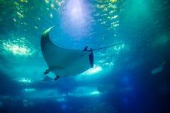 Manta subacquea fotografie stock