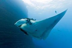 Manta sur le récif coralien Images libres de droits