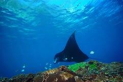 Manta und Korallenriff, die unter Wasser tauchen stockbilder