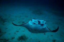 Manta und Korallenriff, die unter Wasser tauchen Stockfoto