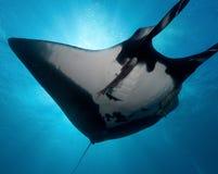 Manta undervattens- bild Royaltyfria Foton