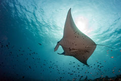 Manta underwater in the blue ocean background Royalty Free Stock Images